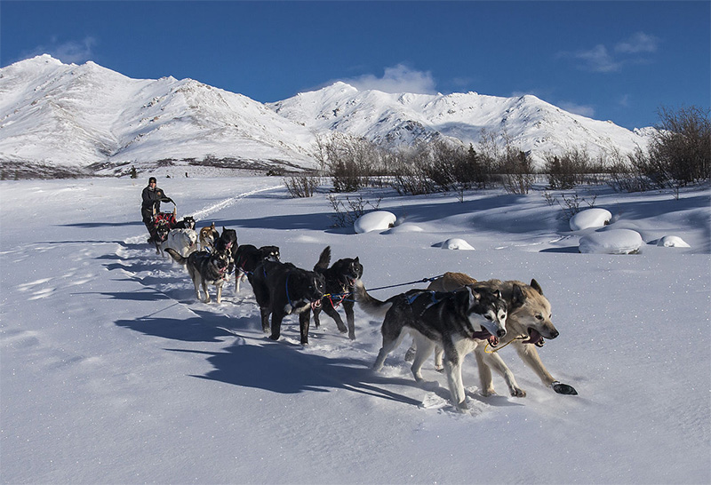 Dogsledding